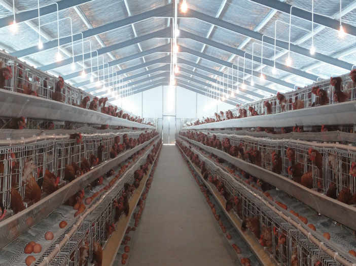PVC Down Pipe Poultry Farm Structure Chicken Shed With Grey paint Surface